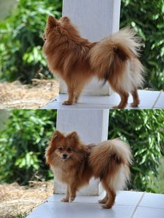 german spitz, klein
