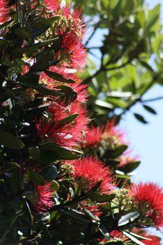 Manuka Plant