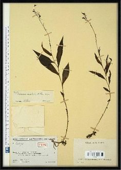 Image result for Habenaria brownelliana
