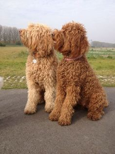 Lovely Labradoodles #labradoodle #dogs #cute