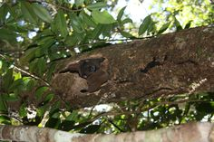 Dr. Junge is back in Madagascar working with lemurs! This one is hiding from the camera