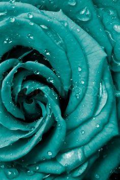 turquoise.quenalbertini: Rose