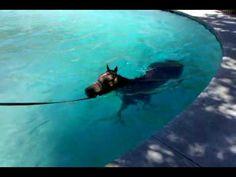 Arabian Horses swimming in the Horse Swimming Pool, Sharjah Equestrian Club, UAE - YouTube