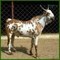 barbari goat - Google Search