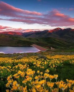 A blanketed hillside of yellow balsamroot, aka mule ear, wildflowers at sunset in East Canyon of the Wasatch Mountains near Salt Lake City, Utah. Wildflowers in Spring provide a great landscape photography subject.
