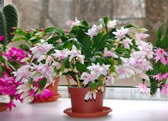 Blooming Cactus Schlumbergera is very beautiful, attracting attention. During this period Christmas Cactus serves as an excellent decoration of any room. Indoor Flowers, Indoor Plants, Cactus Flower, Flower Pots, Plantar Mango, Christmas Cactus, Seed Pods, Garden Care, Plant Design