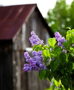 Lilac and weathered barn