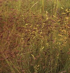 Bouteloua gracilis | Fine Gardening