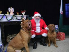At the biggest dogue de bordeaux in the world . All Dogs, Best Dogs, Dogs And Puppies, Bordeaux Dog, Maggie Mae, Cane Corso, Animals And Pets, Pitbulls, Merry Christmas