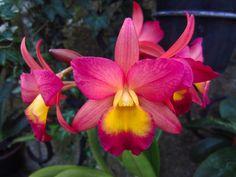 Orchid x Laeliocatonia grex Renate     'S & W'