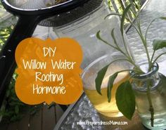 Make your own Willow Water Rooting Hormone for a natural alternative when startiing plant cuttings | PreparednessMama.