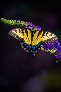 ~~Yellow Swallow Tail by Srinivas Dommety~~