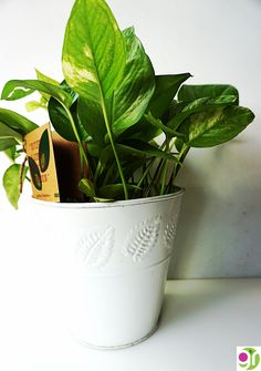A bucket full of healthy living and cleaner air. Golden pothos is a beautiful home planter that not only looks beautiful but also a number one choice for air purifying plant.