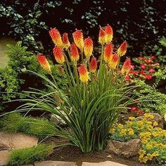 Red Hot Poker Flower Seeds (Kniphofia Caulescens) 50+Seeds - Under The Sun Seeds  - 1