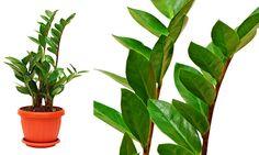 20 plantas para ambientes fechados - Zamioculca, também conhecida como a Indestrutível