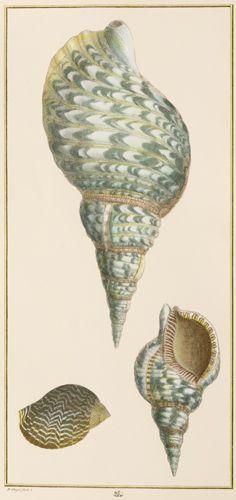 Albertus Seba Shells 1