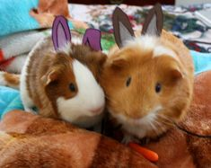 """Bugsy and Biscuit as """"rabbits"""" XD Happy Easter! #guineapig"""