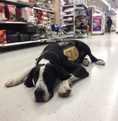 Oliver being a good boy at Walmart with his handlers from the Service Dog Project.