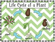 Life Cycle of a Plant Packet Teachers Pay Teachers
