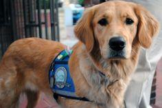 Comfort Dogs Head to Boston #pets #animals