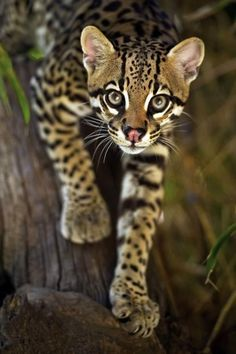ocelot animal - Bing images