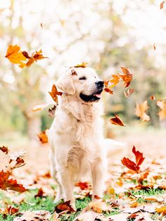 Autumn - Chester, our golden retriever in the Autumn Leaves at Queens Park in Toowoomba