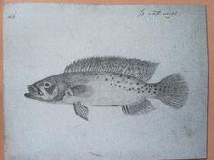 Peixe do rio Negro coletado por Alfred Wallace há 160 anos é finalmente descrito | AGÊNCIA FAPESP