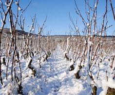 La Bourgogne : un climat continental, Hivers  rigoureux et étés bien chauds !  Comment deviner, en voyant cette photo, qu'un nectar sera produit dans quelques mois