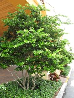 Ligustrum japonicum Japanese Privet tree form.  zones 7b to 10a.  Can be a container plant, small tree or hedge.  Evergreen.  8 - 12 feet tall, 12 - 25 feet wide.  White showy flower in spring and summer.  Full sun to part shade.  Tolerates moderate drought.  Multiple ways to prune this plant - tree, hedge, bonsai...