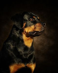 Buy 'The Rotty' by as a Greeting Card. Rottweiler Love, Rottweilers, White Dogs, Mans Best Friend, Dog Life, Best Dogs, Cute Animals, Friends, Baby