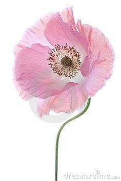 Poppy Royalty Free Stock Photo - Image: 22139185
