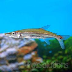 MASCOT!http://www.petsolutions.com/C/Live-Freshwater-Fish-Oddball-Fish/I/Barracuda.aspx