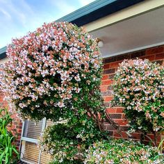 Abelia generally grows as a huge shrub but i have shapebeesd it to spheres. The best part is when it has abundant flowers, hence Grandiflora. Love to watch lots of around this time. After autumn, love it's glossy dark green leaves. #Abeliagrandiflora #glossyabelia #melbourne #abelia Season Colors, Green Leaves, Shrubs, Melbourne, Autumn, Watch, Dark, Garden, Flowers
