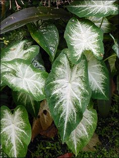 caladium Aaron- such a pretty contrst White Plants, Mini Plants, Indoor Plants, Shade Garden, Garden Plants, House Plants, Orquideas Cymbidium, Variegated Plants, Moon Garden
