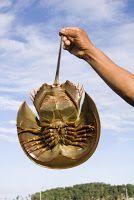 De que se puede hablar hoy: Cangrejo herradura