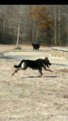 Rex running at the park ( and my other dog popping in the background)