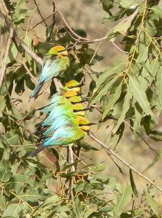 7 Rainbow Bee-eaters, #SouthAustralia - the #Australian 12 Days of #Christmas! http://www.rednomadoz.blogspot.com.au/2012/12/the-12-days-of-christmas-aussie-style.html