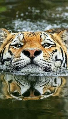 Amazing wildlife - Tiger and water photo by Klaus Wiese Nature Animals, Animals And Pets, Funny Animals, Cute Animals, Wild Animals, Baby Animals, Animals Planet, Wildlife Nature, Beautiful Cats