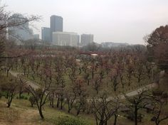 멀리서 본 꽃나무 밭. in 오사카성.