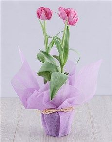 plants: Purple Tulip Plant in Wrapping! Pink Happy Birthday, Happy Birthday Candles, Heart Balloons, Helium Balloons, 18 Candles, Elizabeth Arden Red Door, Planting Tulips, Unicorn Balloon, Star Candle