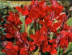 100Pcs Coleus Blumei Semillas De Flores Habitación Nettles scutellarioides Hermoso Jardín