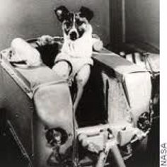 Laika, the dog who became the first living creature sent to space onboard Sputnik 2, November 1957.