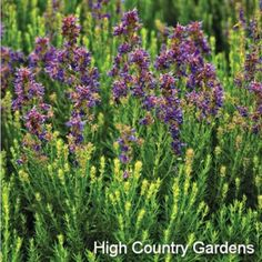 Hyssopus officinalis ssp. aristadus | Hyssopus officinalis ssp. aristadus | Low Water Plants, Eco Friendly Landscapes | High Country Gardens