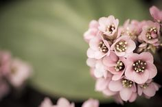 Bergenia Stracheyi by Hirominnovation-photograph Shade Plants Container, Photograph, Flowers, Pink, Photography, Florals, Hot Pink, Photographs, Pink Hair