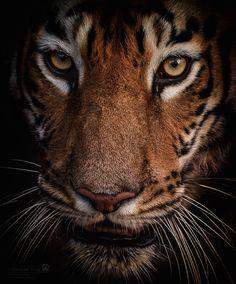 Look into my eyes - Wild tigress, Tadoba National Park, India
