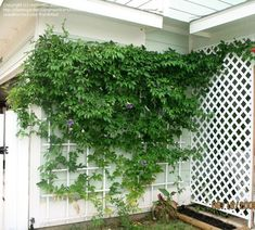 passionflower vine houston - Google Search