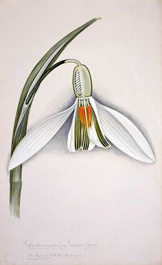 Ronny is telling you:'Snowdrop, Galanthus nivalis: Arthur Harry Church - Watercolour, © Natural History Museum' Nature Illustration, Floral Illustrations, Botanical Illustration, Botanical Flowers, Botanical Prints, Celtic Art, Celtic Dragon, Art Courses, Botanical Drawings