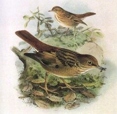 The Bonin Thrush (Zoothera terrestris) was native to Chichi-jima, a Japanese island north of Iwo Jima. It was discovered around 1828 & most likely fell victim to introduced predators such as rats soon afterward. Lithograph by J.G. Keulemans from H. Seebolm's Monograph of the Turdidae (1902).