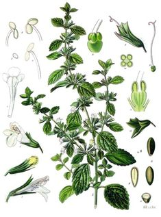 Common Name: Lemon Balm | Scientific Name: Mellissa Officinalis
