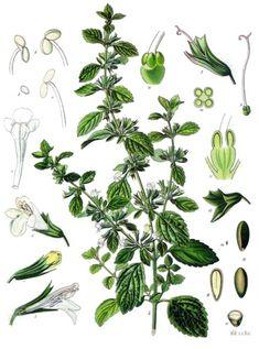 Common Name: Lemon Balm | Scientific Name: Mellissa Officinalis